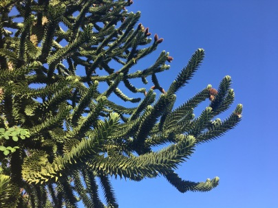 Monkey Puzzle / Bullocks Brothers' Homestead, Orcas Island, WA