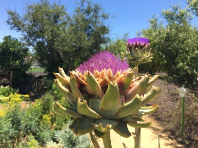 Flowering Artichoke / The Ecology Center, Orange County, CA