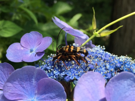 Bees do it on a Hydrangea / Hakone, Japan